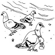 wackypigeons.jpg